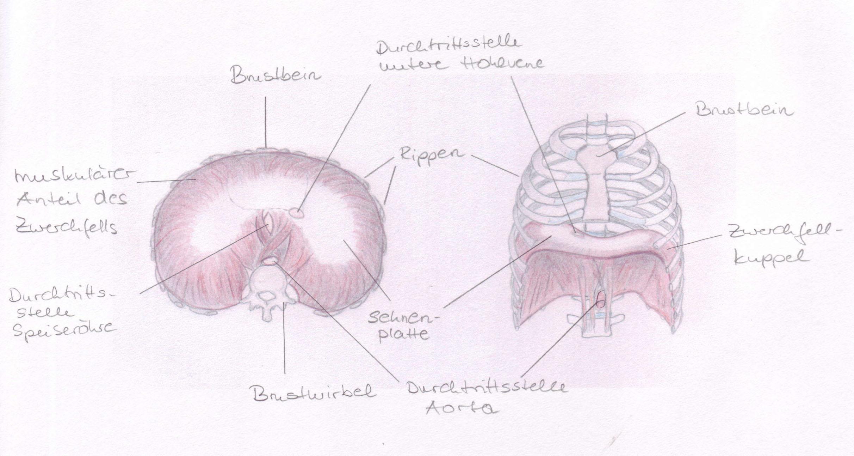 Anatomie und Physiologie der Atmung - Yoga Aktuell
