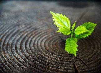 Junge Pflanze wächst aus altem Baumstamm