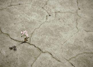 Blume wächst aus steinigem Boden
