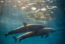Delphine im Meer