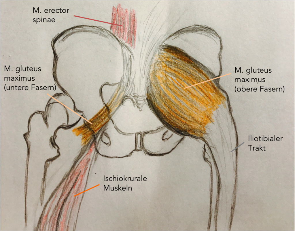 Aufbau des Gesäßmuskels