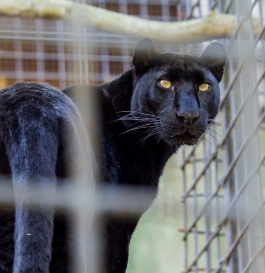 Panther im Zoo