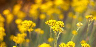 Immortelle in Blüte