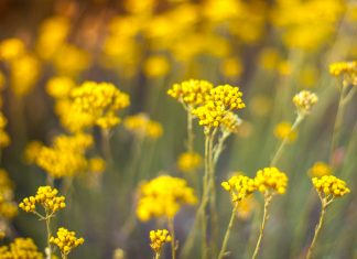 Immortelle in Blüte